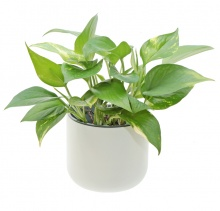 EDEN SUCTION PLANTER